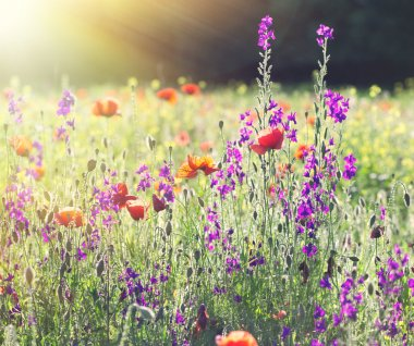 Beautiful meadow flowers