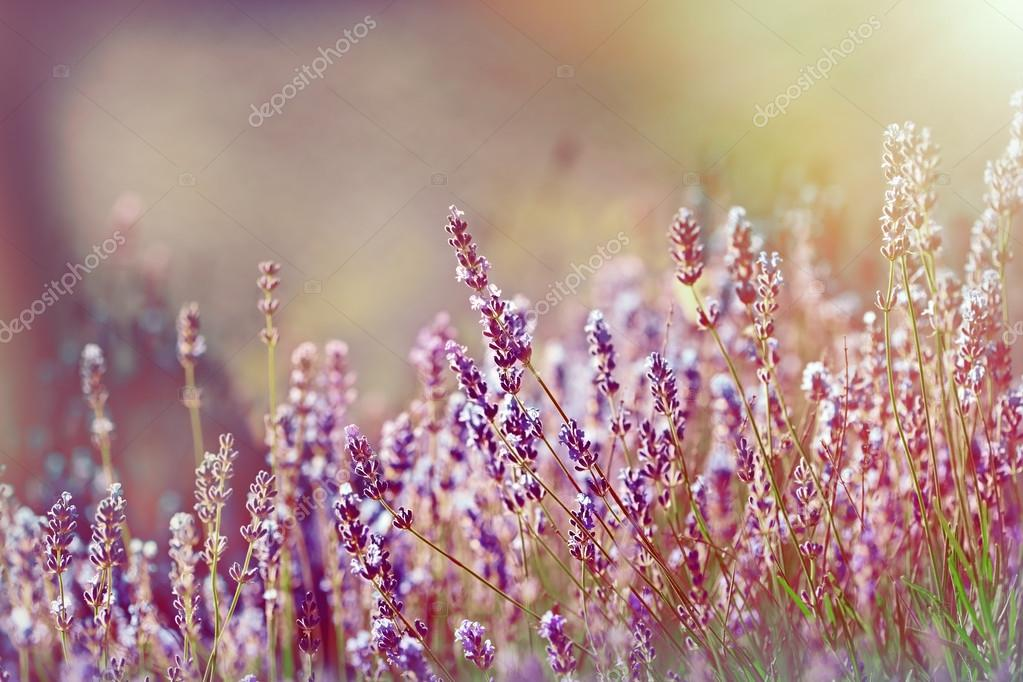 Lavender flower bathed with sunlight