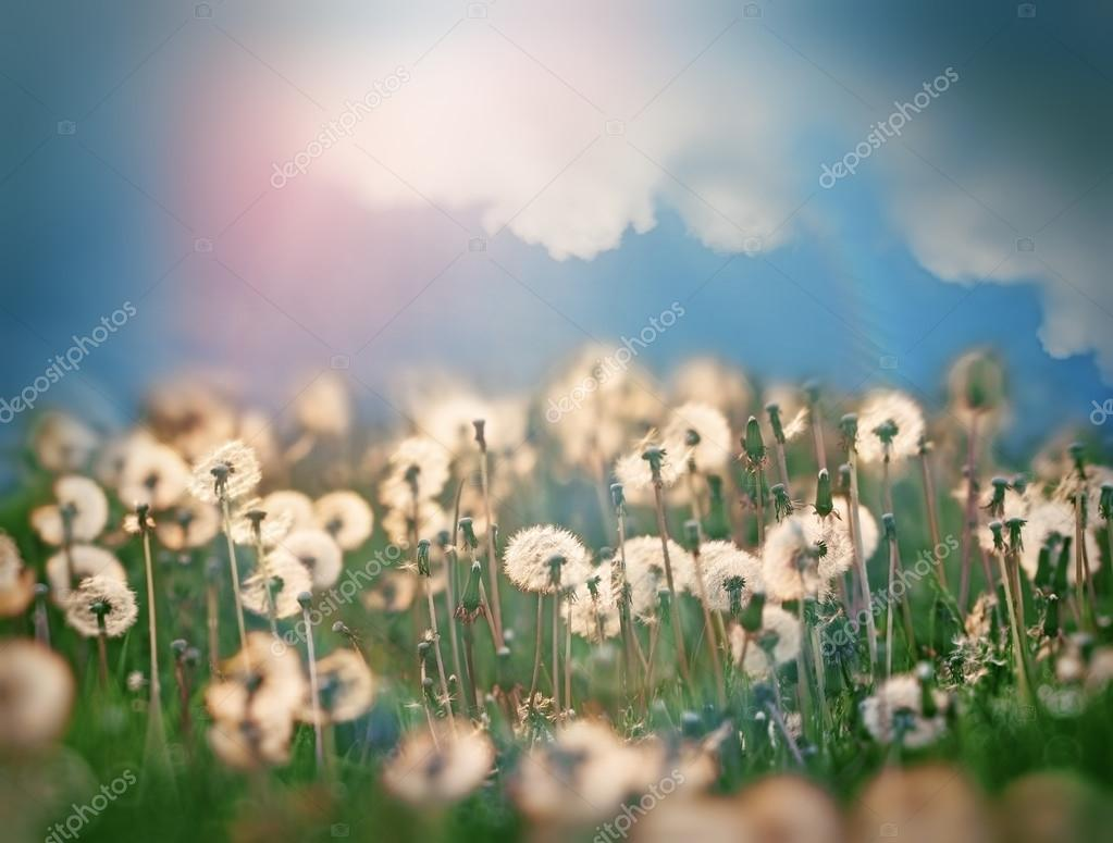 Dandelion seeds and beautiful sky with clouds