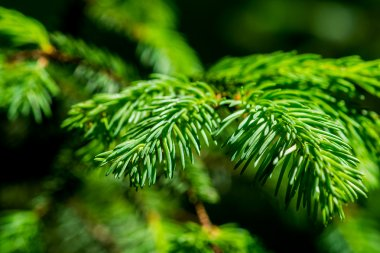 Green branch and needles of a spruce tree
