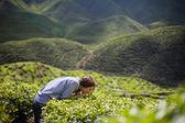 Fotografia Donna sentente lodore delle foglie di tè