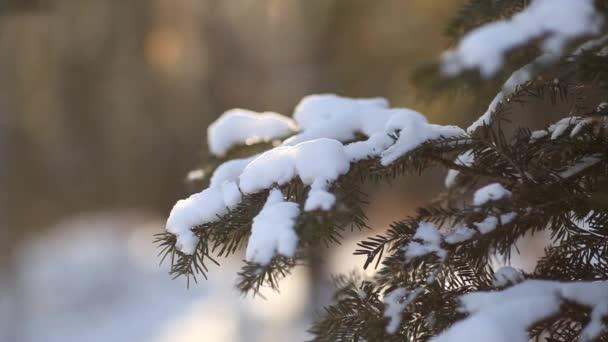 jedle větve se sněhem