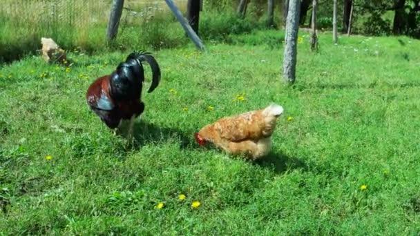 Gallo e galline in erba