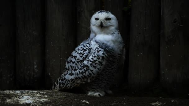 vit fjällugglabílá sova Sněžná
