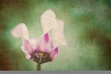 cyclamen flower background