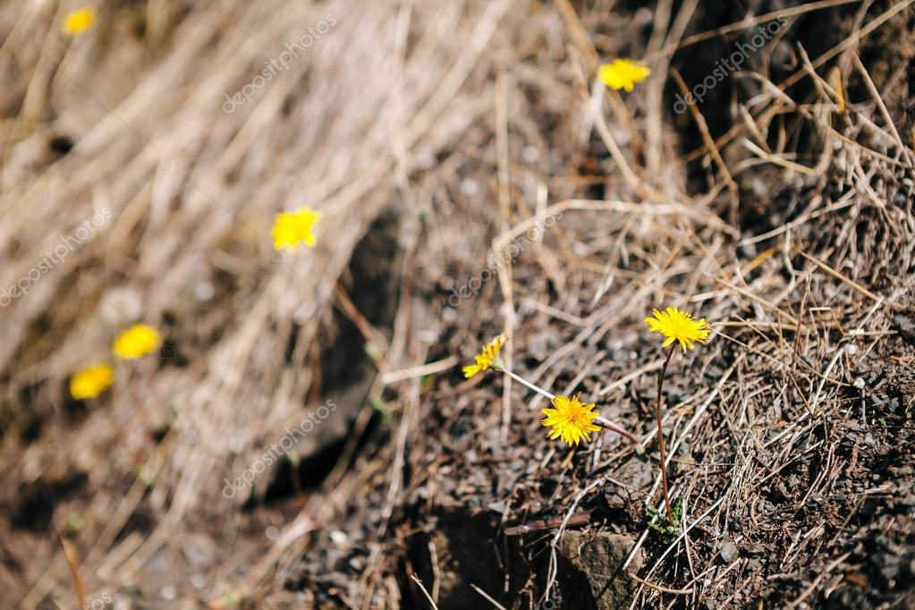 Dandelion with dry grass background