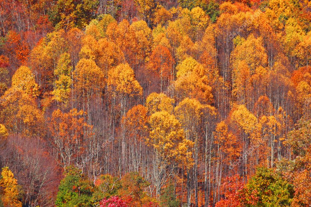 Aspen trees background