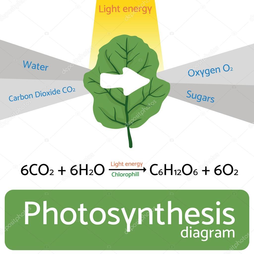 Photosynthese-Diagramm. Schematische Vektor-Illustration des ...