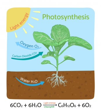 Photosynthesis diagram. Schematic vector illustration.