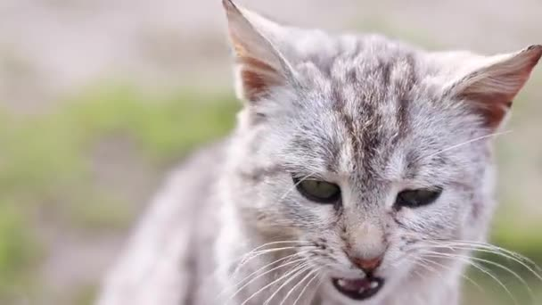 aranyos szürke macska nyalás takarítás ápolás magát. macskabarátok. állat állat háttér. Kiváló minőségű FullHD felvételek