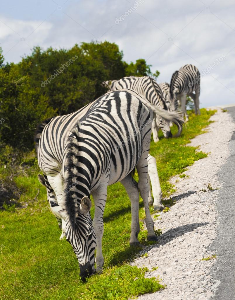 Zebras in a safari park.