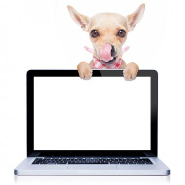 Hungry with tongue licking chihuahua dog  behind a laptop pc computer screen, isolated on white background stock vector