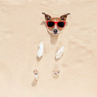 Jack russell dog  buried in the sand at the beach on summer vacation holidays , wearing red sunglasses stock vector