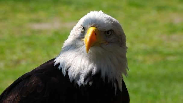Porträt der Weißkopfseeadler