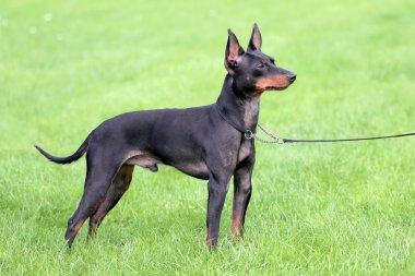 Black English Toy Terrier