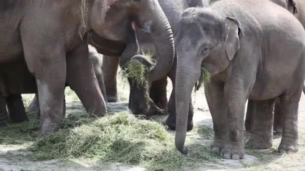 Nagy ázsiai elefánt csorda