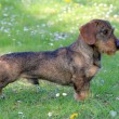 stock-photo-dachshund-wire-haired-on-a