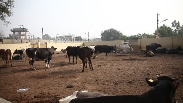 Milchviehbetrieb mit Büffelmilch