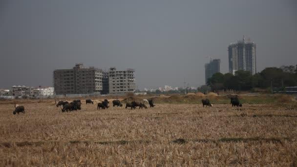 Büffel auf den Feldern