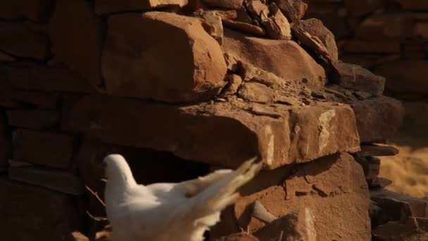 white Pigeon on the wall at rural area Rajasthan India