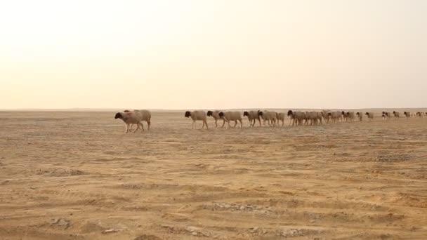 Schafe in der Wüste Rajasthan Indien