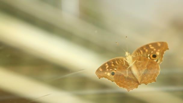 motýl na sklo