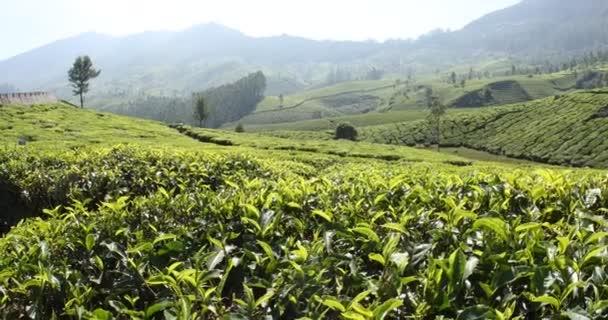Teeplantage Farm Munnar Kerala Indien