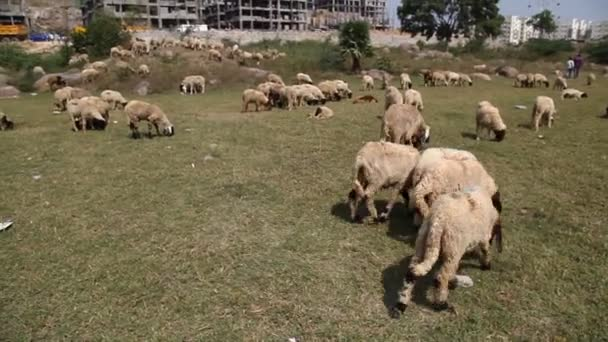 Sheeps in front of building