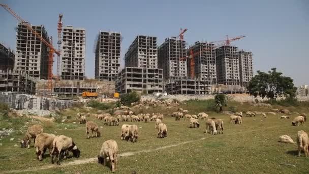 Ovce před budovou