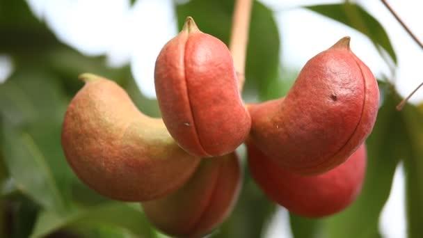 Indiai Ayurvéda gyógyszeres gyümölcsök
