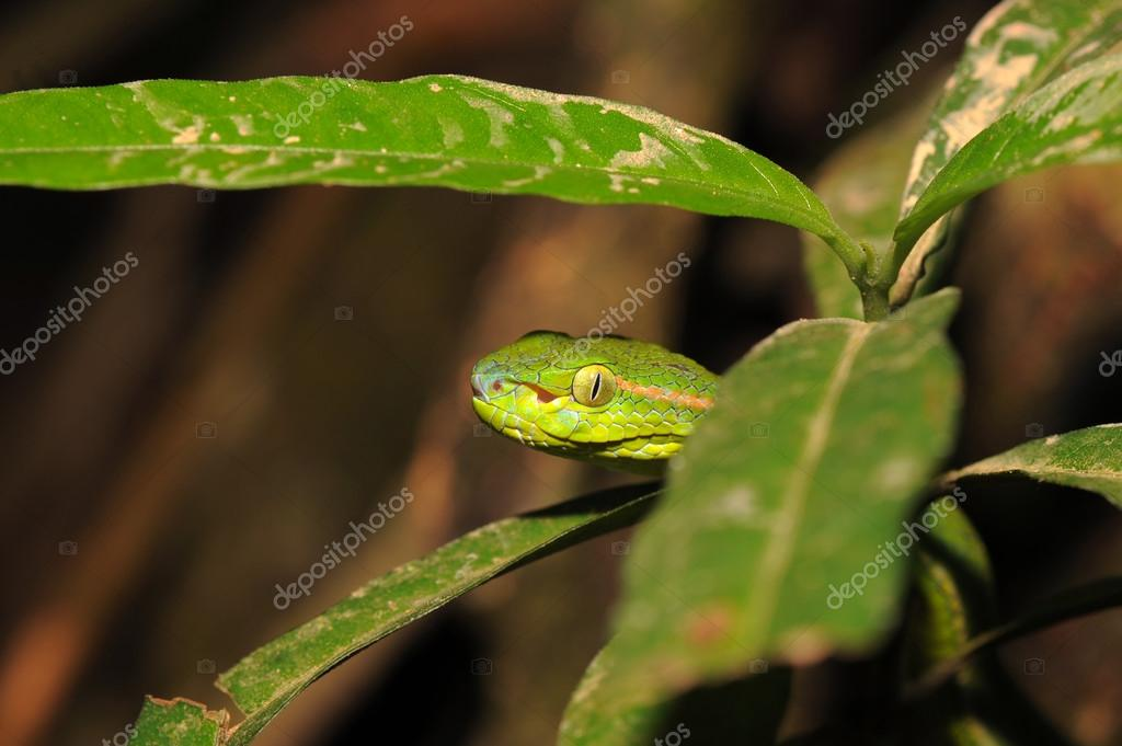 Green pit viper in the middle of leaves
