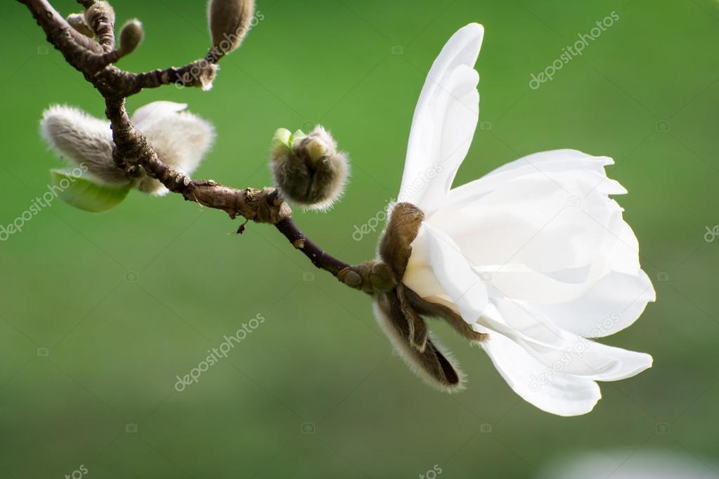 Blüten von weiß blühende Magnolie Baum — Stockfoto © manfredxy ...