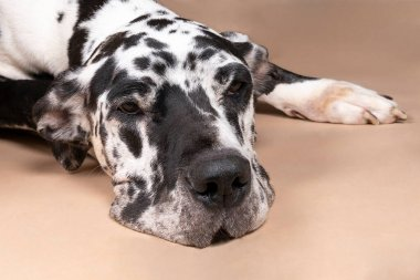 Black and white Great Dane or German Dog, the largest dog breed in the world, Harlequin fur, lying isolated in beige