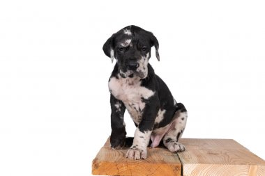 A puppy of the Great Dane or German Dog, largest dog breed in the world, Harlequin fur, white and black spots, sitting isolated in white