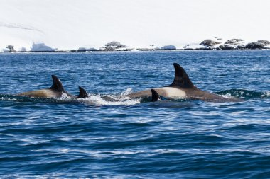 group of female assassins diving whales in Antarctic waters on a