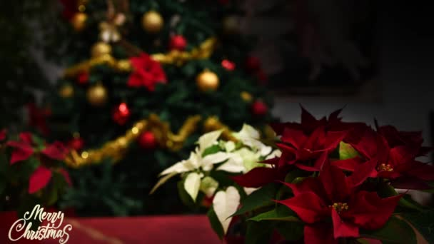 Weihnachtsstern, Weihnachtsstern, Baum