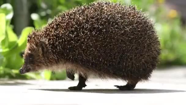 Hedgehog in the garden walking around, close up, scientific name - Erinaceus europaeus, also known as European hedgehog or common hedgehog