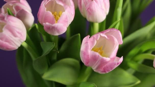 Jasně růžové bílé barevné tulipány kvetou. Vánoční kytice rotující v kruhu na fialovém pozadí. 4K video rotující v kruhu.