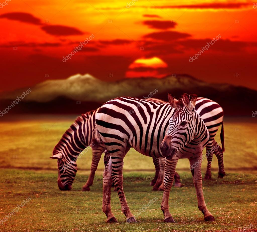 Wild zebra standing in green grass field against beautiful dusky
