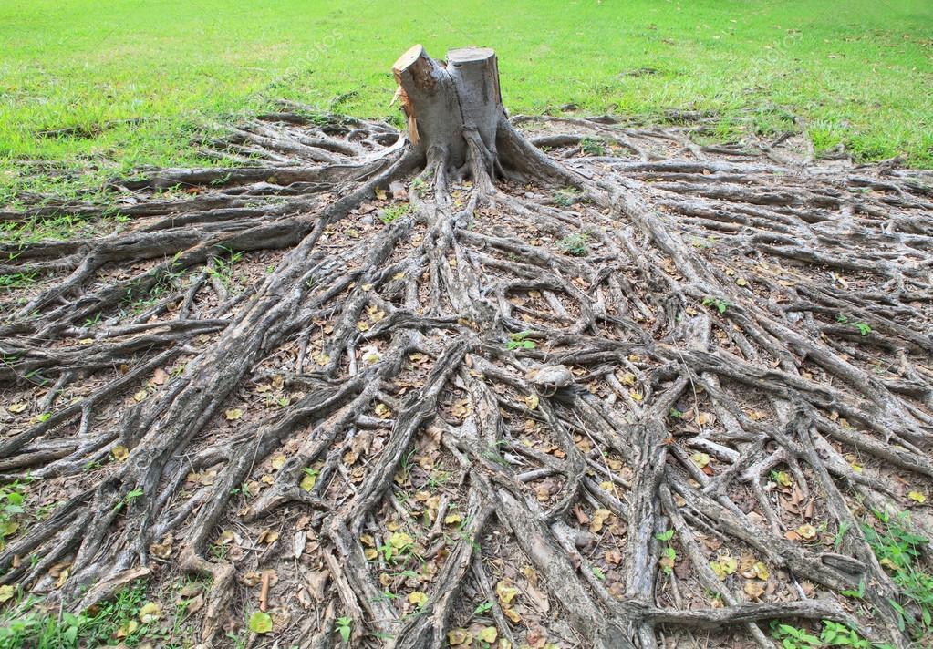 coupe est mort de la souche d 39 arbre de banian avec racine dans le champ vert photographie. Black Bedroom Furniture Sets. Home Design Ideas