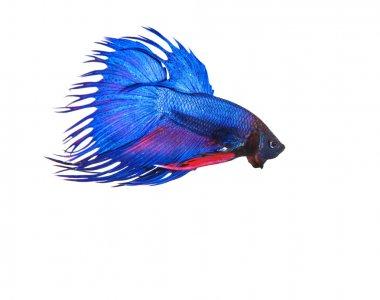 """Картина, постер, плакат, фотообои """"Изолировать Синяя Корона хвост, тайский fighing рыбы бетта подготовиться к борьбе"""", артикул 58696237"""