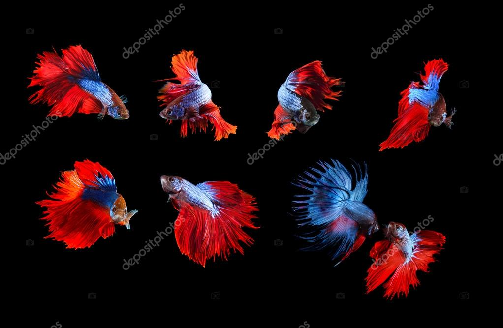 mixed of blue and red siamese fighting fish betta full body unde