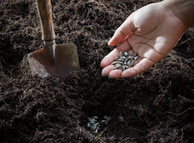 Conceptual of hand plant and sunflowers seed in to plantation so