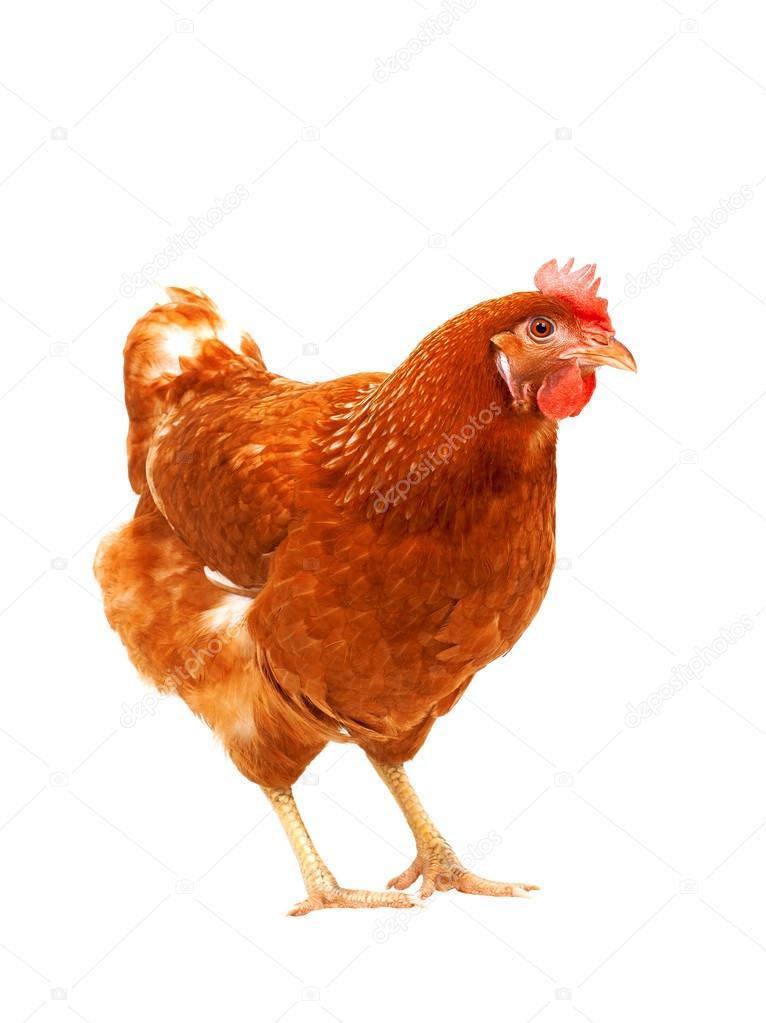 Ca ego cia a br zowy kurczaka kura stoj cy na bia ym tle - Image de la poule ...