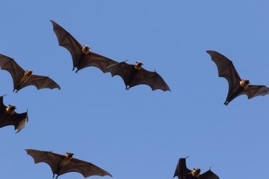 Lyle's flying fox ,flying fox against clear blue sky