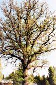 Listy dubu plný jara