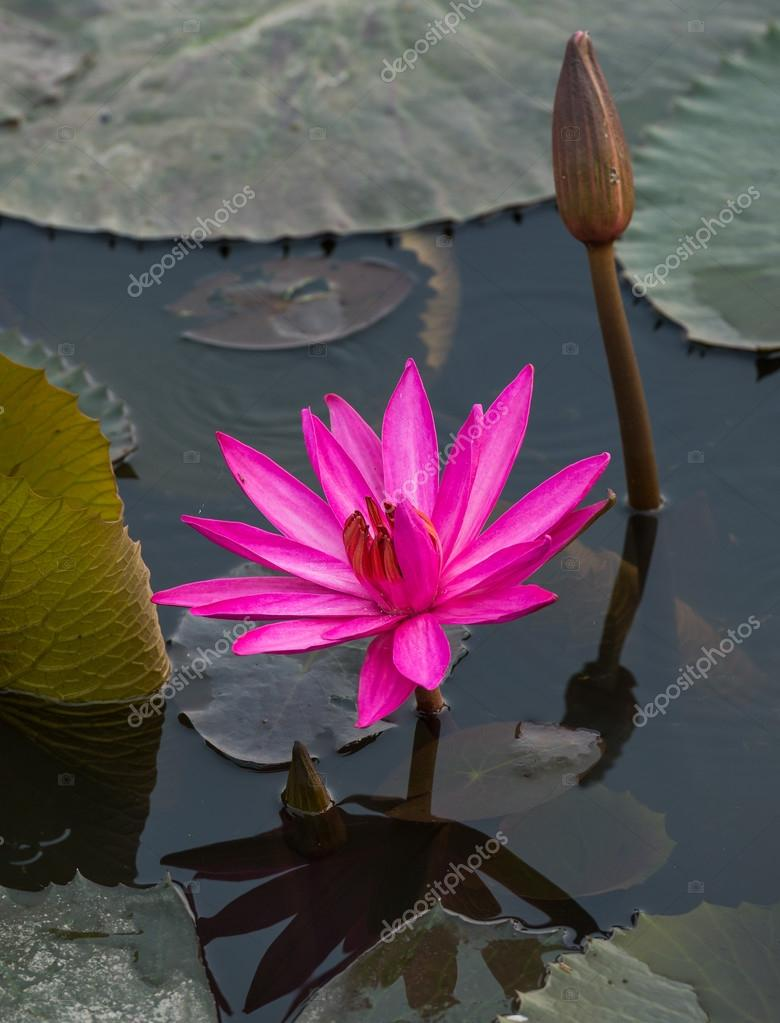 Pink color fresh lotus flower blossom stock photo wuttichok close up pink color fresh lotus blossom or water lily flower blooming on pond background nymphaeaceae photo by wuttichok izmirmasajfo