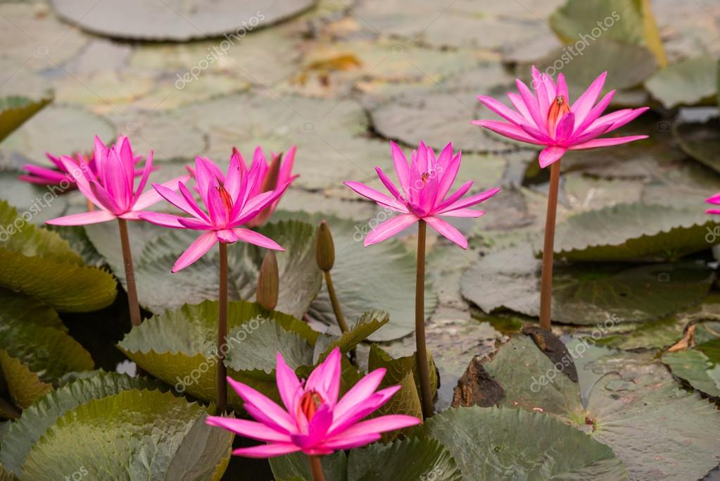 Pink color fresh lotus flower blossom stock photo wuttichok close up pink color fresh lotus blossom or water lily flower blooming on pond background nymphaeaceae photo by wuttichok mightylinksfo