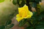 Krásná žlutá růže v zahradě