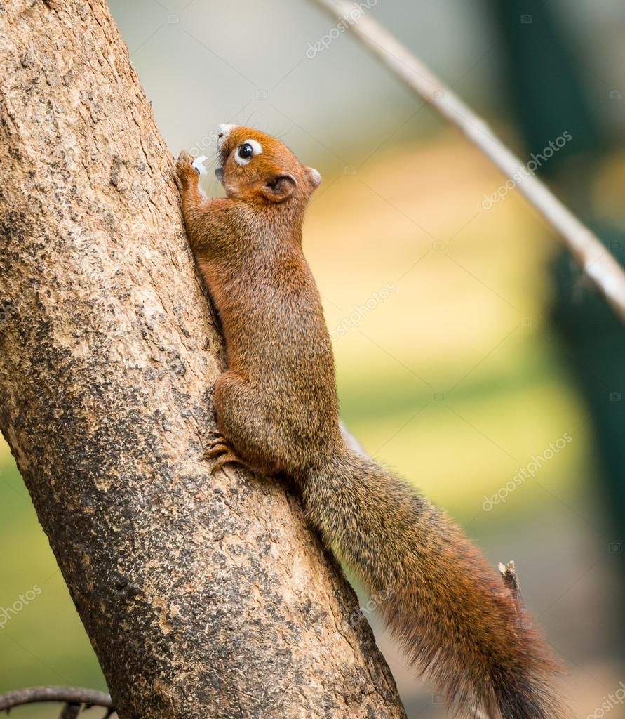 squirrel or small gong, Small mammals on tree